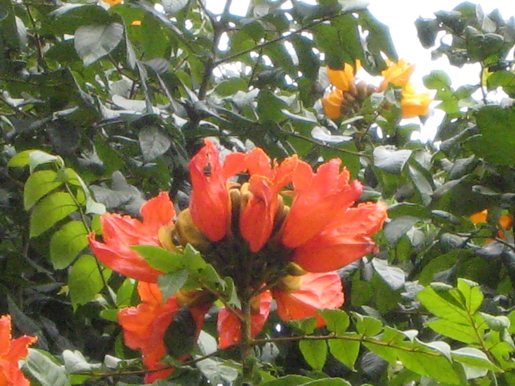 African Tulip Tree Spathodea Campanulata Richard Lyons Nursery Inc