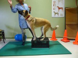 exercícios cães com lesão