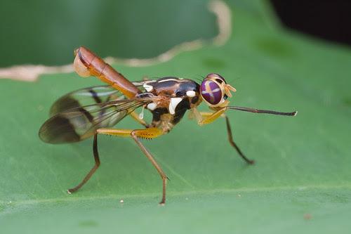 A beautiful fly, <i>Adrama sp</i>? IMG_9944 copy