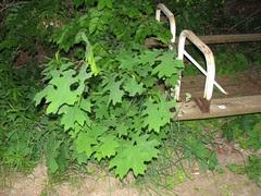 volunteer scarlet oak