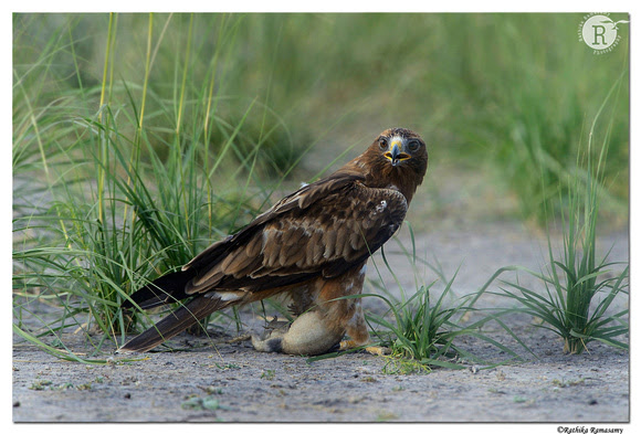 Rathika Ramasamy's Wildlife Photography: Wildlife Moments &emdash; Booted Eagle (Aquila pennata)_D4R3388