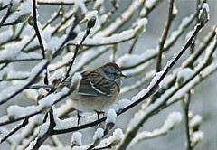Christmas sparrow~