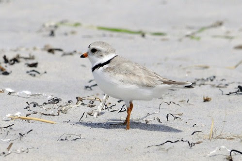 piping plover 2