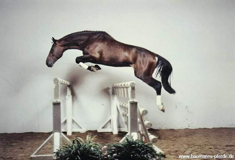 ausmalbilder pferde springen  shire horse ramses springt