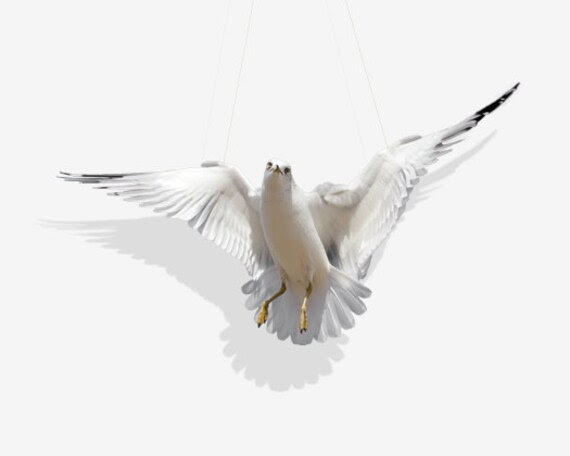 Swing, Ring-Billed Gull Photography Art Print, Home Decore, Wall Art, Fine Art Print