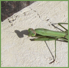 09 mantis looking