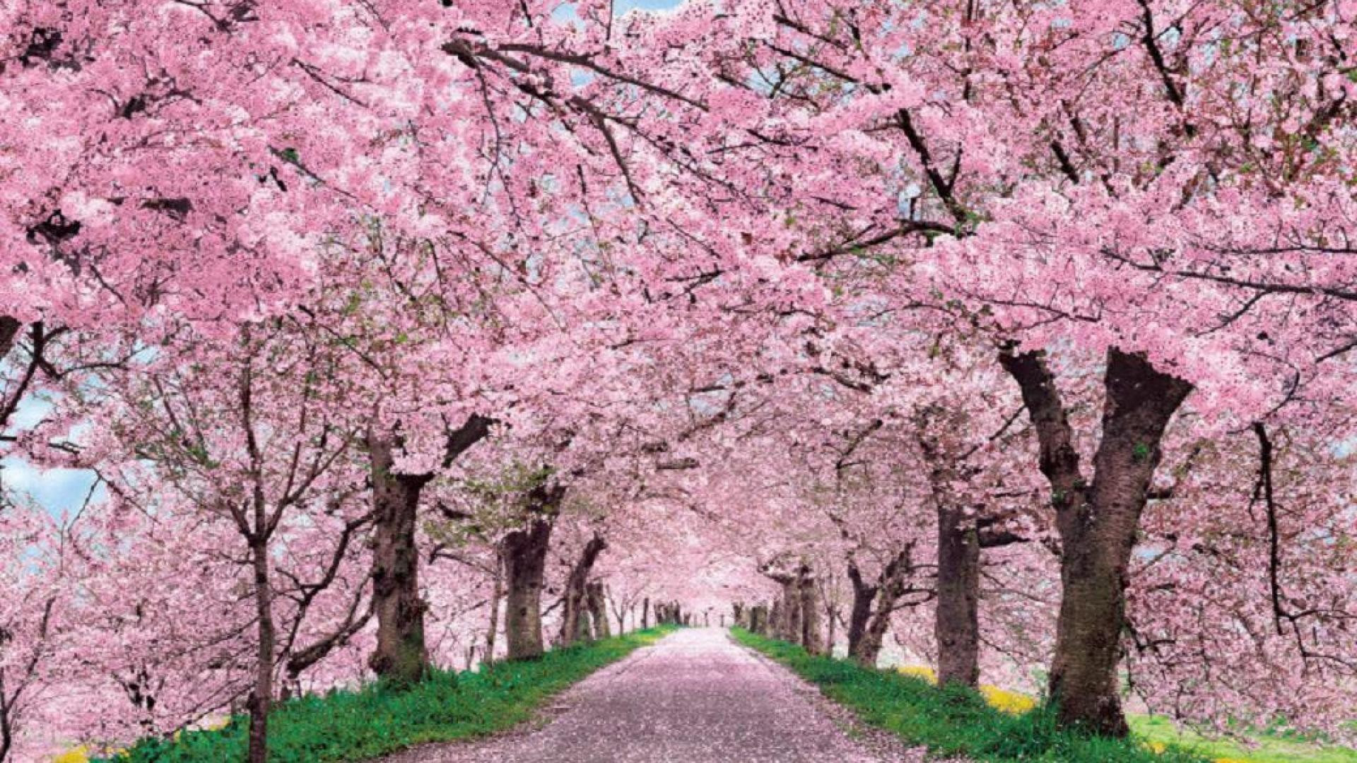 Japanese Cherry Blossom Wallpaper 71 Images