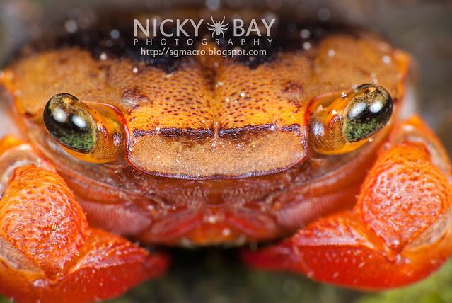 Terrestial Crab (Brachyura) - DSC_1849