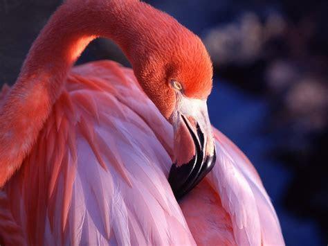 flamingo wallpaper wallpapersafari
