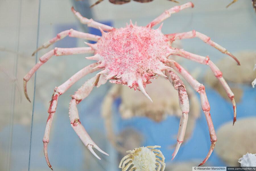 Краб розового цвета в музее ракушек Корфу