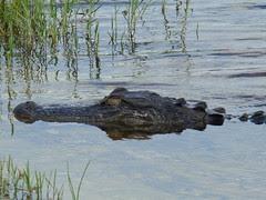 Croc up close