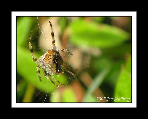 Reifel Spider
