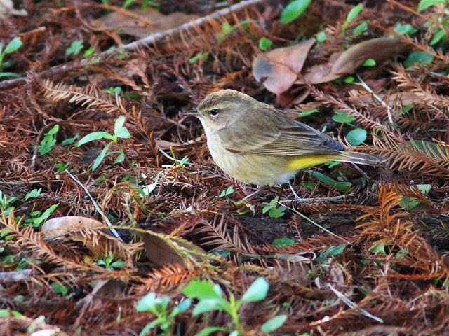 Palm Warbler in cypress litter 20140124