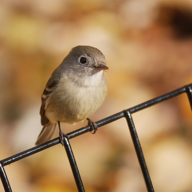 Ed Gaillard: birds &emdash; Hammond's Flycatcher, Central Park