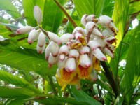 Gengibre (Flores)