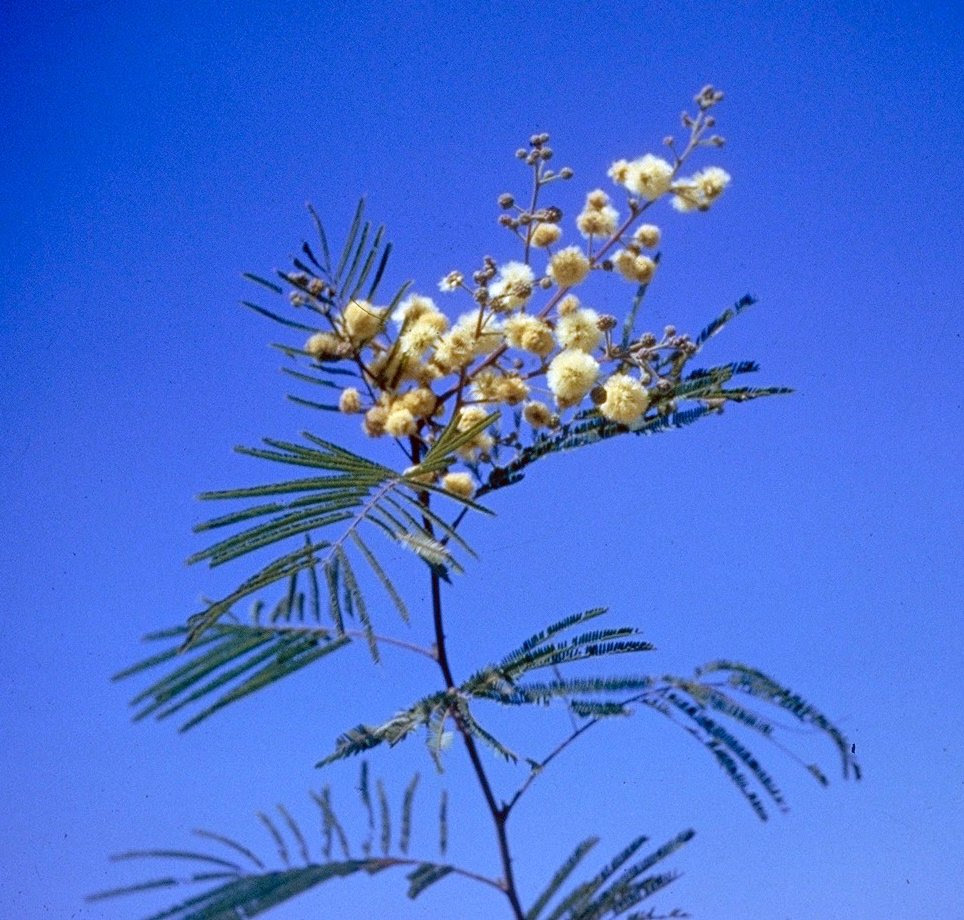 http://upload.wikimedia.org/wikipedia/commons/0/0b/Acacia_berlandieri_branch.jpg