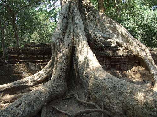 Giant tree roots in Ta Prohm