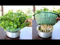 How to Grow Coriander at home in Water with Hydroponic System
