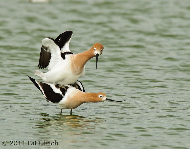 American avocets mating - Pat Ulrich Wildlife Photography