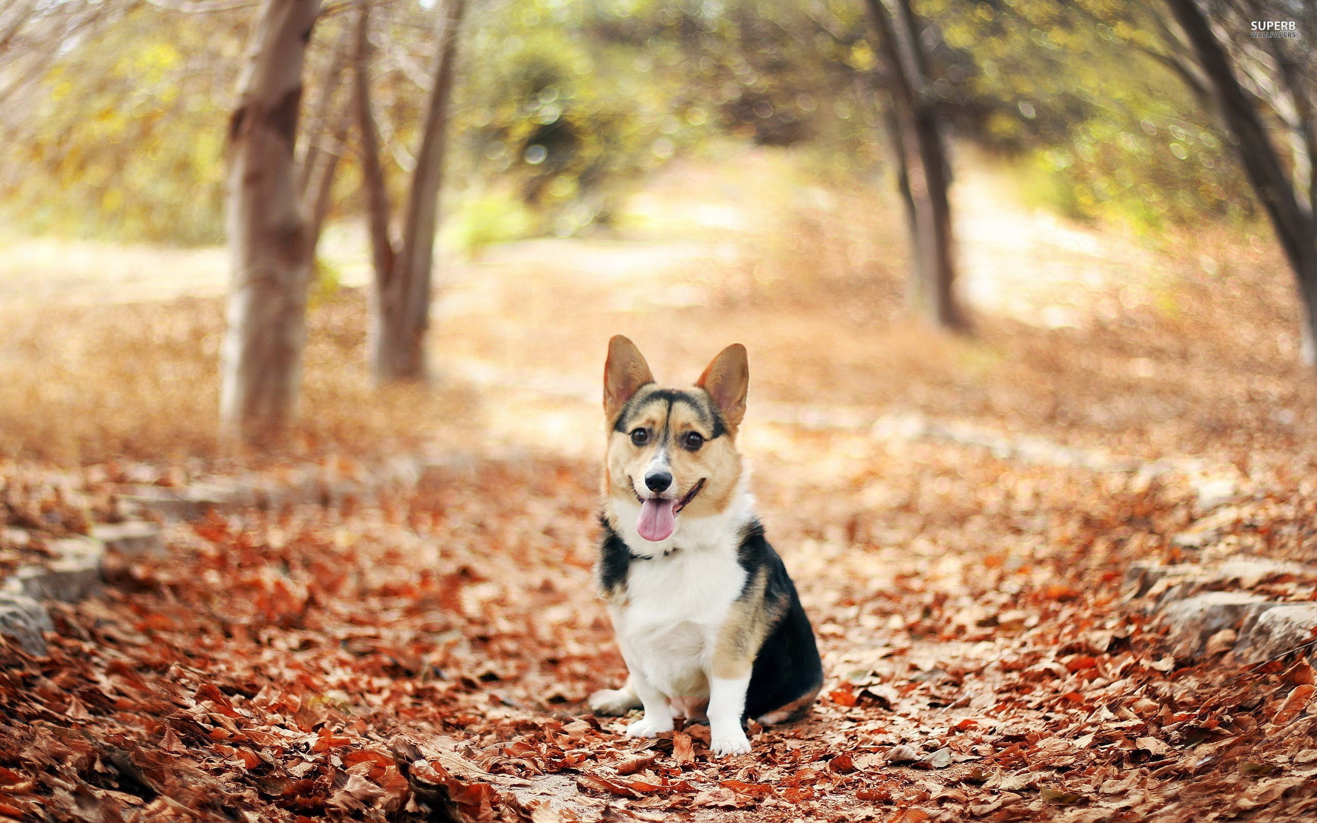 Pembroke Welsh Corgi Wallpapers High Resolution and ...