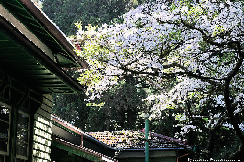 阿里山櫻花110