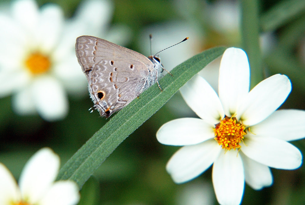 Gray hairstreak near blackfoot daisies