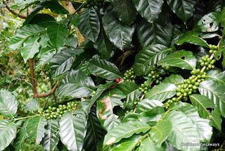 organic-coffee-farm-sagada.jpg