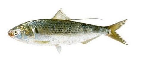 魚へんに春夏秋冬 海水魚の種類と釣り方