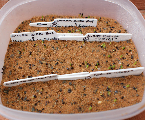 Astro seedlings