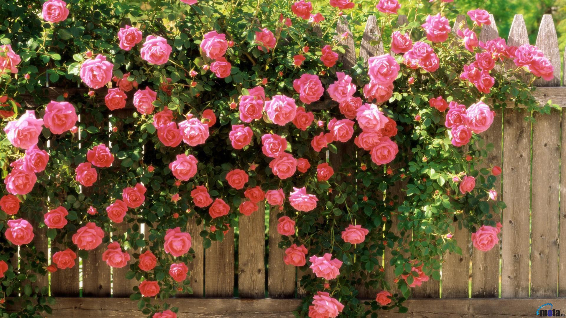 rose.jpg (1920×1080)