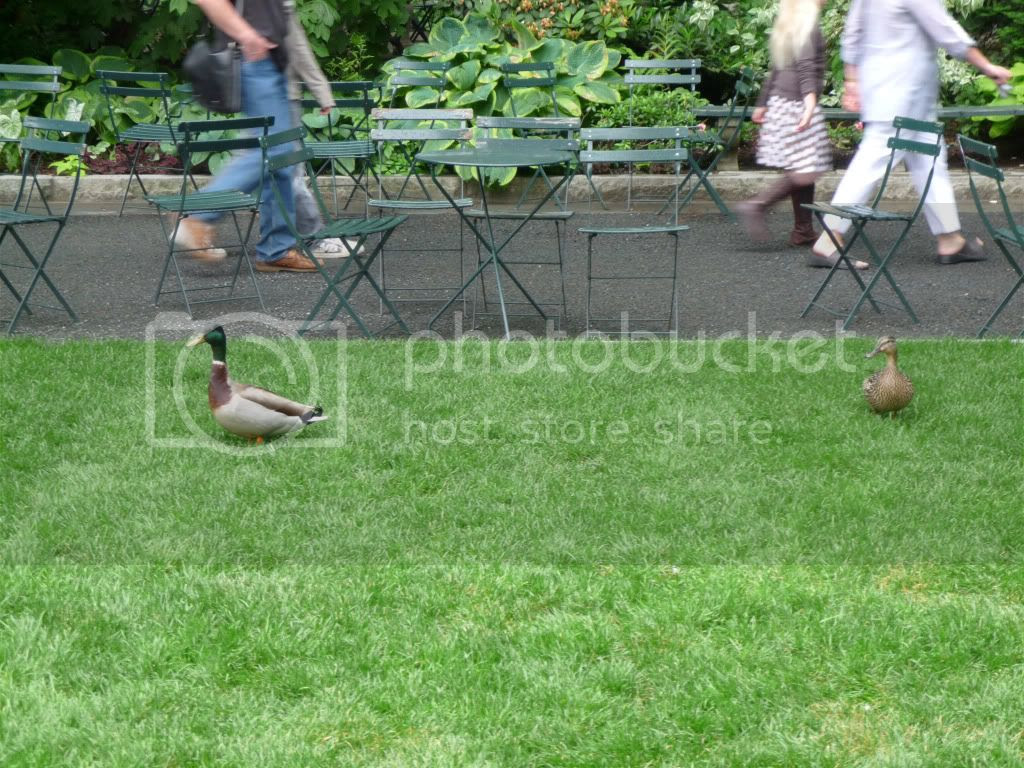 Ducks in Bryant Park
