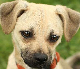 Cute Chihuahua Pug Mix Puppies