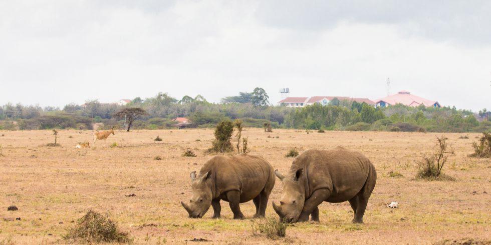 El parque tiene unos 90 rinocerontes negros y 10 de blancos, y es uno de los principales centros de cría de Kenia.