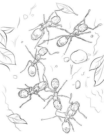 Dibujo De Hormigas Coloradas Para Colorear Dibujos Para Colorear