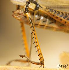 Grasshopper Legs
