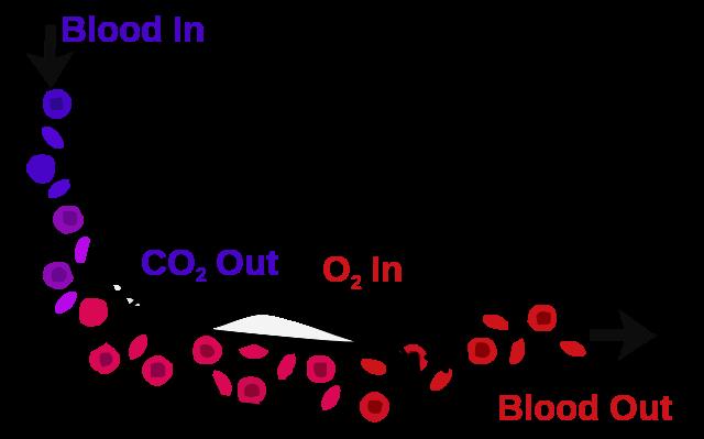 blood-air barrier
