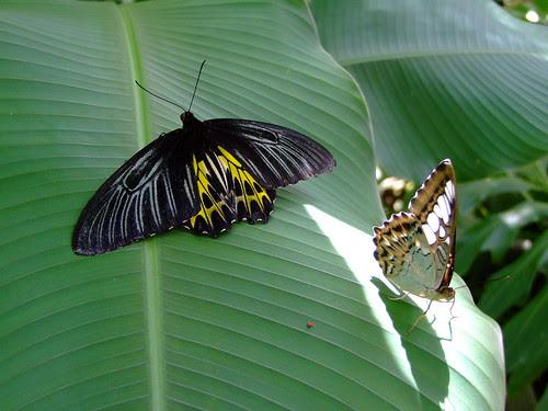 Two Butterflies II