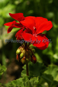 a red geranium in the garden