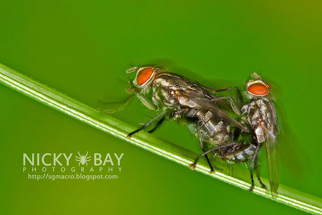 Flesh Flies (Sarcophagidae) - DSC_5050