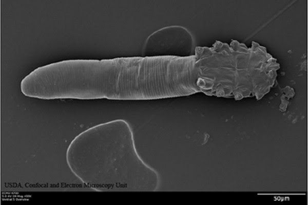 Demodex-folliculorum