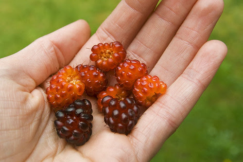 handful of salmonberries