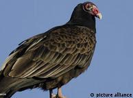 Cathartes  aura: un ave ideal para rastrear personas fallecidas.