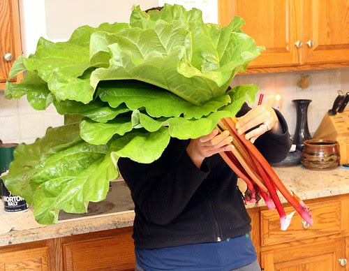Rhubarb for scale