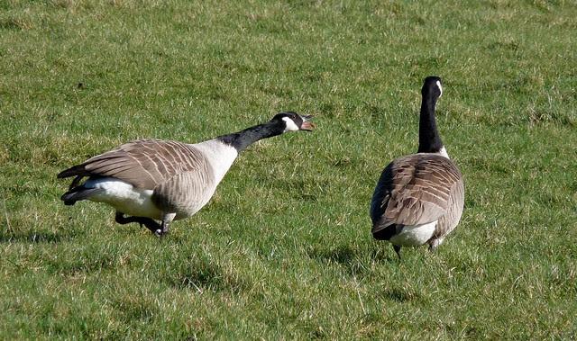 25577 - Canada Geese, Kenfig Pool