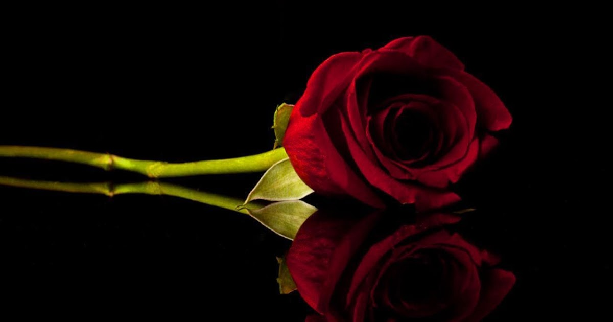 Bunga Mawar Merah Background Hitam Gambar Bunga