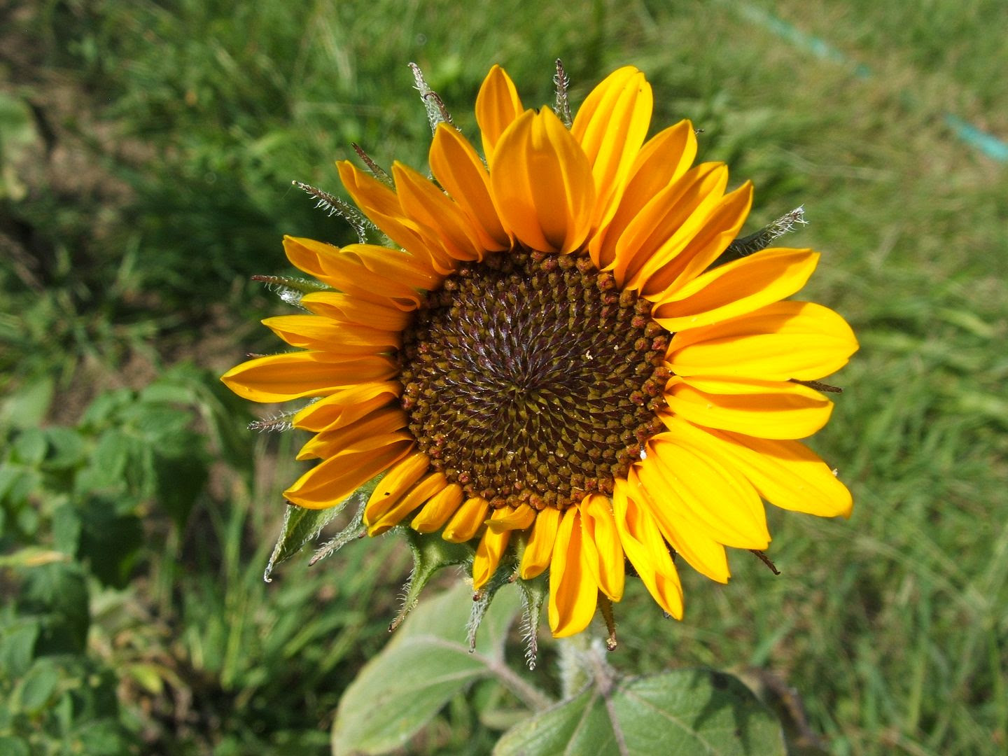 Soraya Sunflower by Angie Ouellette-Tower for godsgrowinggarden.com photo 009_zps429944a4.jpg