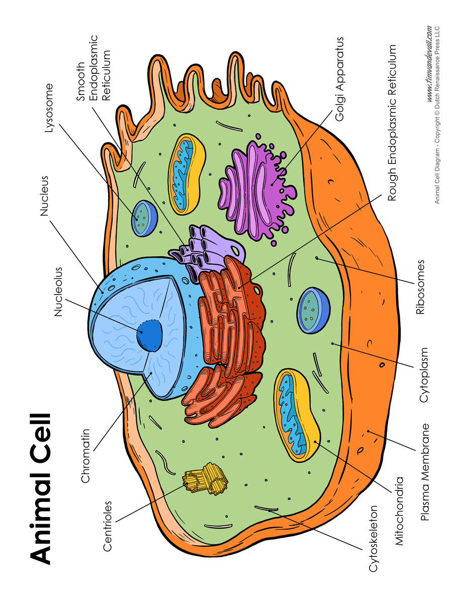 Cell Diagram Labeled