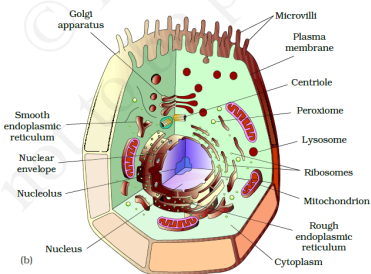 Plant Cell And Animal Cell Diagram For Class 8 Ncert