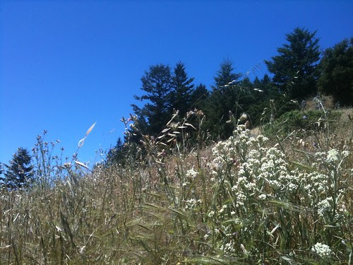 Mountain Meadow with Pearly Everlasting