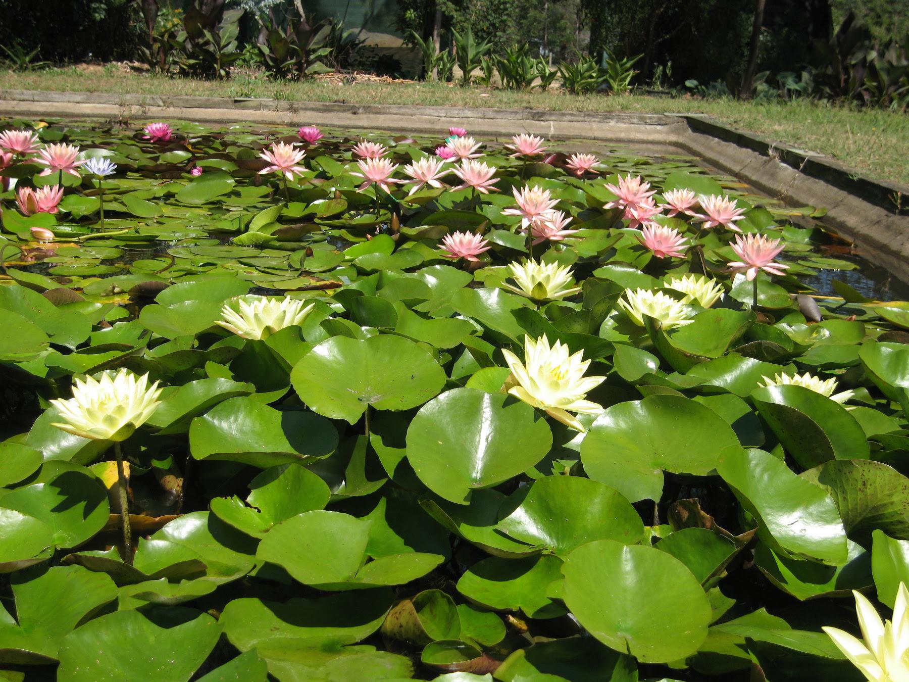 Growing Water Lilies Water Plants Wallis Creek Watergarden